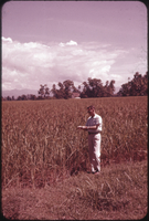 Mr. Shumate, ICE advisor measures rice, near Chiengmai, Thailand