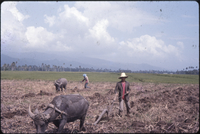 Plowing cane field, San Jose, Cam. Sur