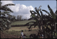 Photographs of Philippines : Rural scenes, Agriculture, Iloilo