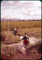 Irrigation by hand, near Chiang Mai