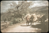Beasts as burden: bovine and semole (human) in Beppu