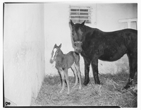 Racehorses : Dark Revue and colt