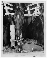 Racehorses : Brockton Boy