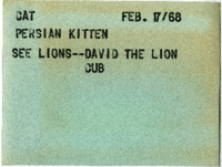 Cat : Persian Kitten : See Lions--David The Lion Cub