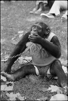 Image of a chained chimpanzee wearing clothes and smoking a cigarette.