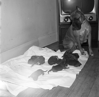 Dog : Boxer, Lady Jim Gaw, and Pups