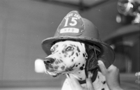 Dog : Sparks - Mascot of Hamilton Fire Dept.