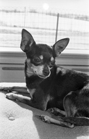 Dogs : Chihuahuas [not used]