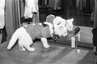Cat : Cat Wearing Coat Made by Yonge Street Tailor Shop
