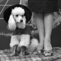 Dogs : Poodles Beauty Parlour