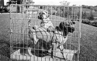 Dogs : Ridgeback Puppies Going to Caracas
