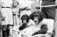 Chimps : Owned By Kurt Petzold. [not used]