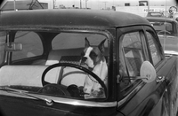 Dog : Boxer at Wheel of Car