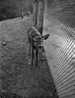Deer : At Riverdale Park [not used]