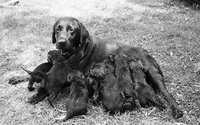 Dog : Golden Retriever and Pups [not used]