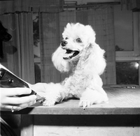 Dog : Poodle Being Clipped