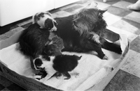 Cat : Kittens and Dog Belonging to Mrs. Harry Brooks, Cooksville [not used]