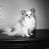 Dog : Papillon : Charpin