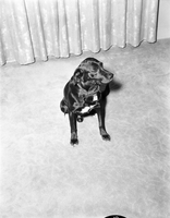 Dog : Sam, Owned by Mrs. Gordon White [not used]