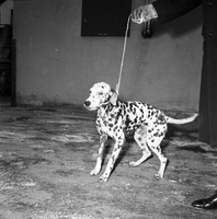 Dog : Dalmation : Sold for $1.00