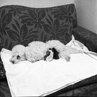 Dogs : Poodle Adopts Chihuahua Puppies [not used]