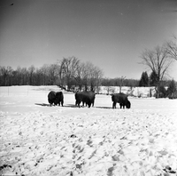 Halton County, Ont. : Buffalo at Halton Conservation Authority